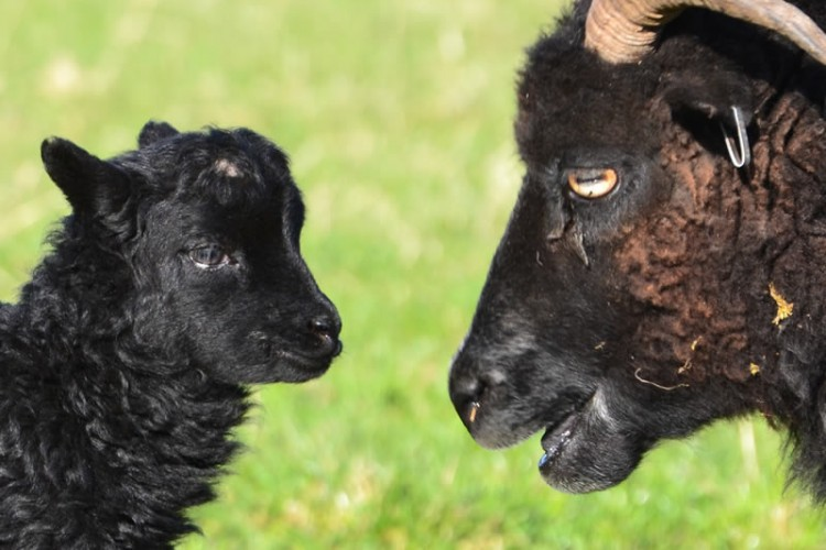 Hebridean Ewe and Lamb at Kirklandbank
