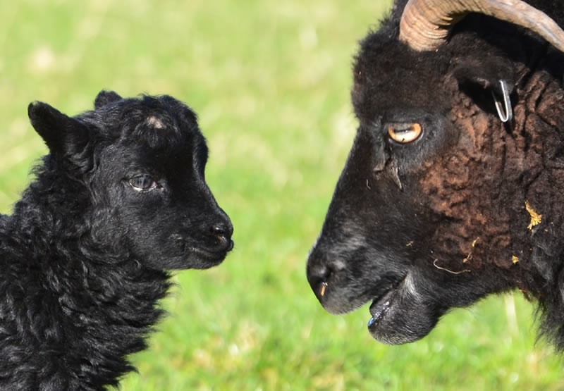 Hebridean Ewe and Lamb at Kirklandbank